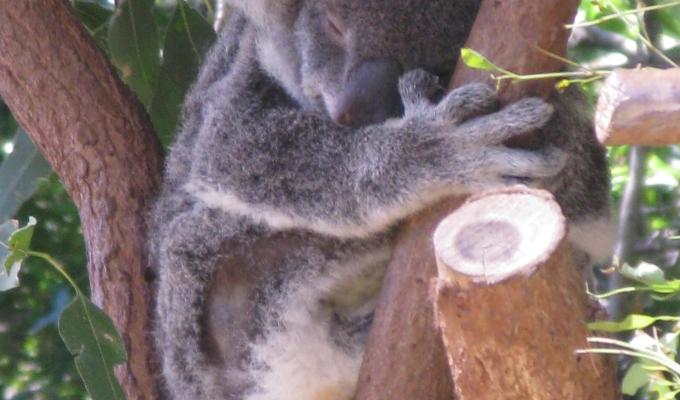 Koala- en macadamianotenassociaties
